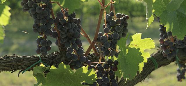 sagra del vino campania 2013