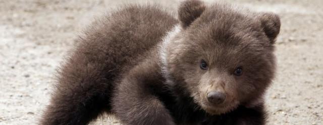2 cuccioli di orso bruno allo zoo di napoli napoli da vivere for Affittare una cabina nel grande orso