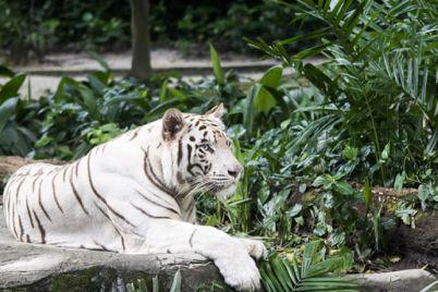 Arcana-un-raro-esemplare-di-Tigre-Bianca-nello-Zoo-di-Napoli.jpg