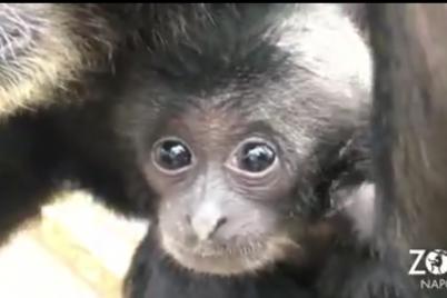 Tanti-cuccioli-allo-Zoo-di-Napoli-Coso-è-lultima-scimmietta-arrivata.png