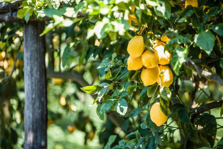 limoni-in-festa-massalubrense-1.jpg